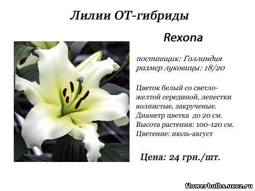 Лилии от гибриды лилия rexona лилия rexona